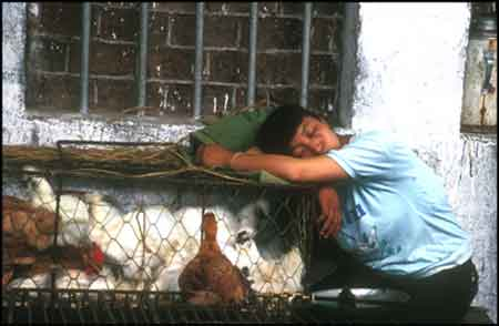 Chinese woman naps with her chickens. © 1991 UrbisMedia
